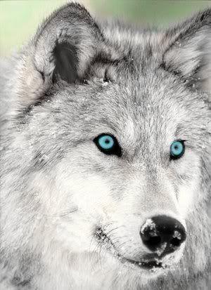 Silver Wolf Photo by Macaiah | Photobucket