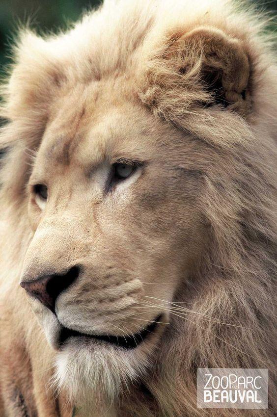 #Lion blanc - ZooParc de Beauval