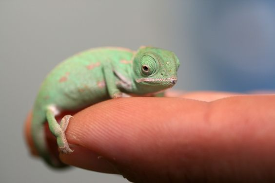 Veiled Chameleons tongues can be up to 1.5 times the length of their body