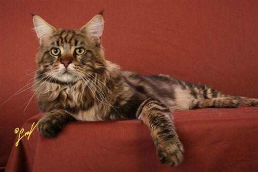 Maine Coon, black tabby blotched (n 22). O'Teddy of Lufre