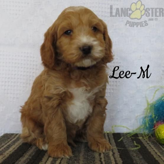 Lee Cockapoo Puppy For Sale In Narvon Pa Lancaster Puppies Cockapoo Puppies Cockapoo Puppies For Sale Lancaster Puppies
