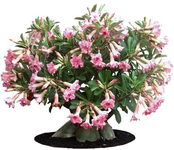 Tropical Plant Adenium Obesum