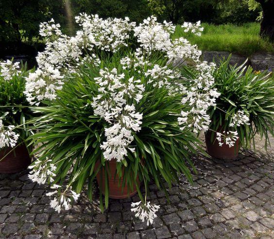 Die Schmucklilie 'Albus' (Agapanthus-Hybride) in atemberaubend vitaler Form.