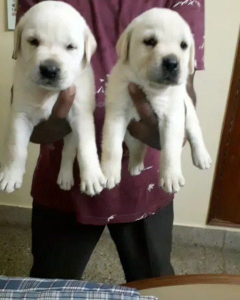 Top Quality Of Labrador Puppies Available In Bangalore If