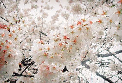 blossoms: