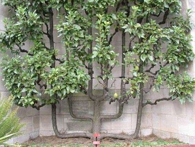 """""""Espalier is the horticultural technique of training trees through pruning and grafting in order to create formal """"two-dimensional"""" or single plane patterns by the branches of the tree."""