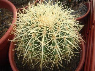 Vivero Sandillón: Echinocactus grusonii