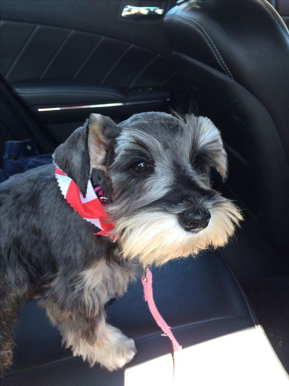 Miniature Schnauzer Puppy Cute Adorable First Haircut