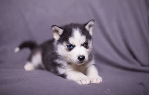 Siberian Husky Puppy For Sale In Worthington Pa Adn 62944 On