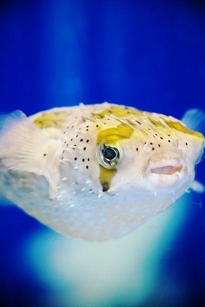 ハリセンボン~星の目 | 動物 > 魚類の写真 | GANREF