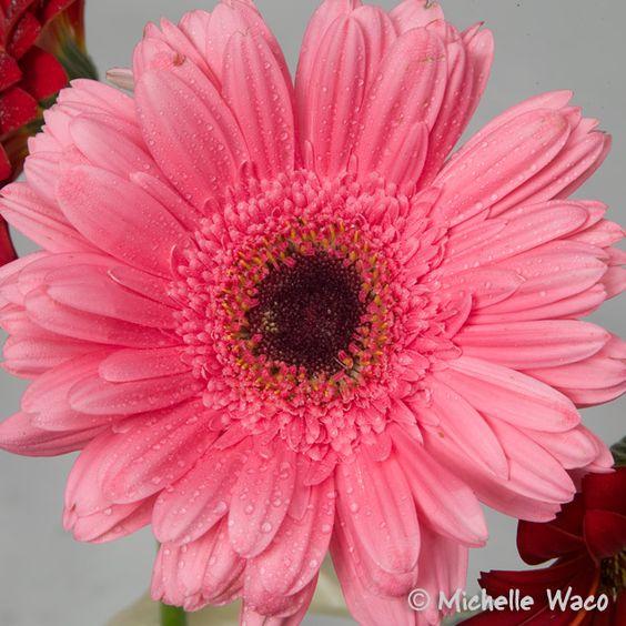 Pink Gerber Black Center