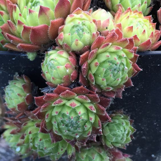 Sempervivum 'Hermann Näpfel'
