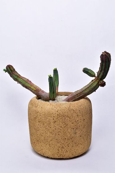 Euphorbia juglans