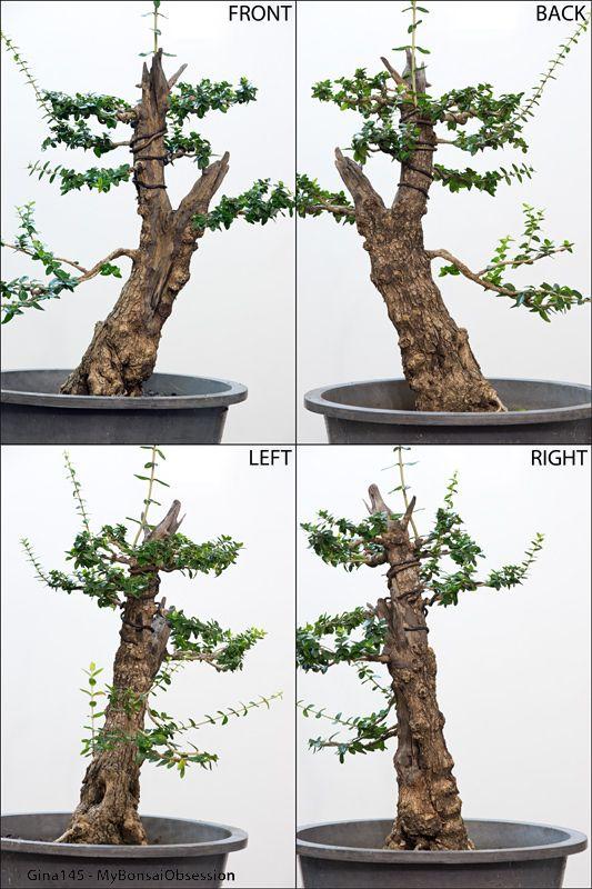 New Ideas For An Old Olive Tree Jardinagem Bonsai Plantas