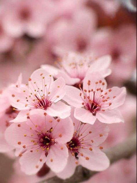 15 Super Ideas For Sakura Tree Tattoo Pink Sakura Flower Sakura Tree Blossom Trees