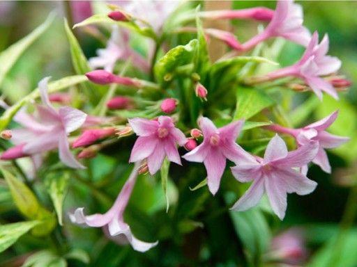 Jasmin Stefana Najpiekniej Pachnace Pnacze Gladi20 Garden Plants Flowers