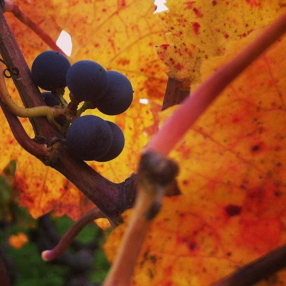 © Les Chroniques de l'Œnotourisme #fall #automne #automn #autumn #couleursdautomne #vignoble #vineyard #bordeaux