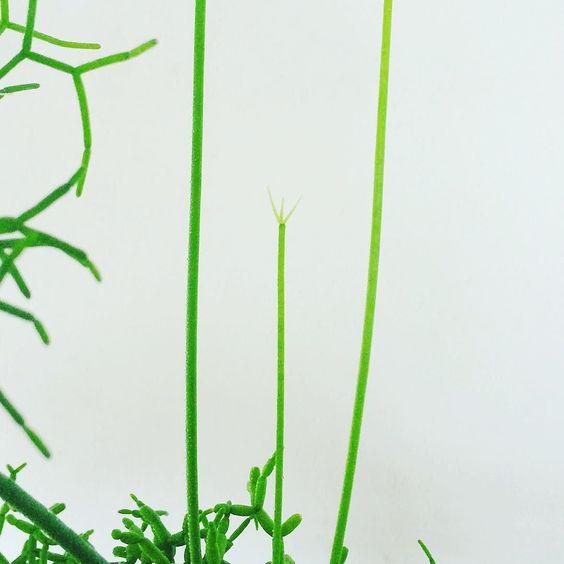 #botanicallifethursday #plants #green #vsco #vscocam  成長不良かなと心配していたらリプサリスぽくなり始めていましたおばQちっく 今月29日からヒシガタ文庫さんで展示販売させて頂く事になりました ワークショップも行います お時間ございましたら是非お立ち寄り下さい http://ift.tt/1ScvxJP by haino_s