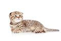 Baby Scottish Fold Kitten - Free Stock Photos & Images - 24308916 | StockFreeImages.com