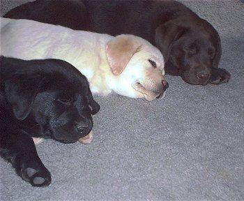 Lab puppies :)