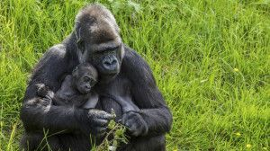 Berggorilla-Mama mit Baby auf einer Ruanda Reise mit Gorilla-Tracking