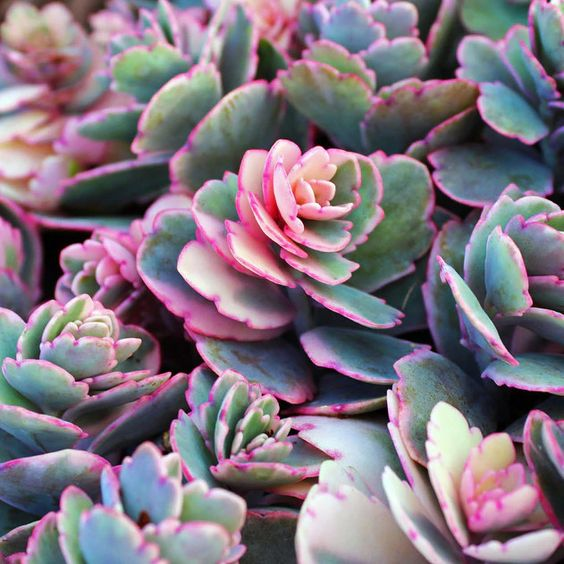 A variegated Kalanchoe with pink, white and blue markings.