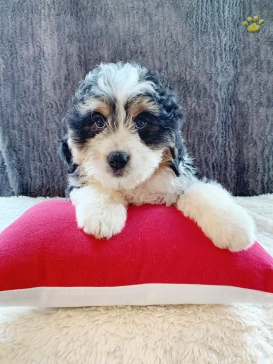 Pin By Ginger Mckane On Baby Animals Mini Bernedoodle