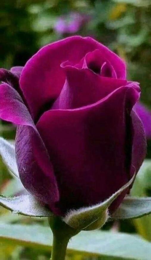 Wymagania pokarmowe dla róż