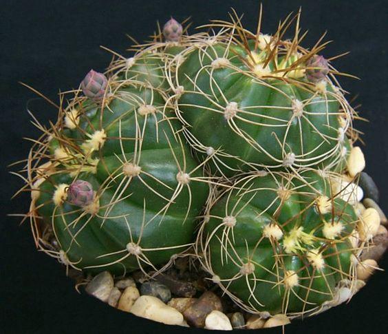 Gymnocalycium fleischerianum