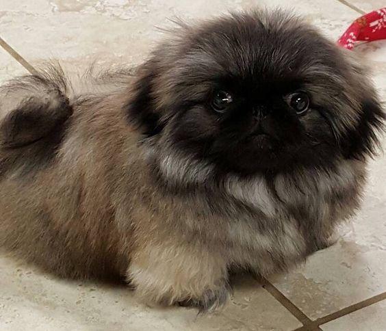 21 Cutest Pekingese Puppies Ever In 2020 Pekingese Puppies Pekingese Dogs Pekingese