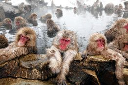 If you take a dip in one of Japan's thermal baths you may end up sharing it with snow monkeys. Thermal baths are a cornerstone of Japanese culture. Read about them here: http://on.wsj.com/Z6l3g8
