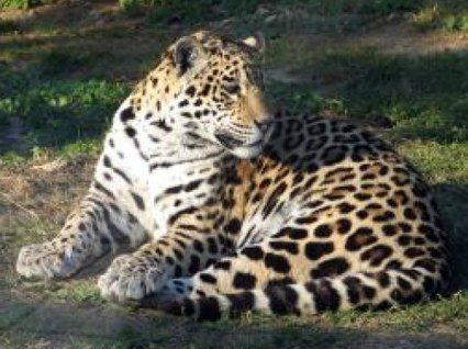 animais brasileiros - Bing Imagens
