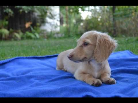 Beautiful L H Miniature Girl Puppies Beautiful Animals