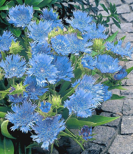 stokesia 39 blue danube 39 2 pflanzen blau. Black Bedroom Furniture Sets. Home Design Ideas