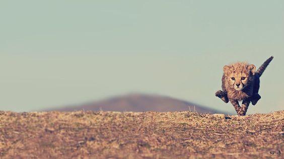 Running baby cheetah