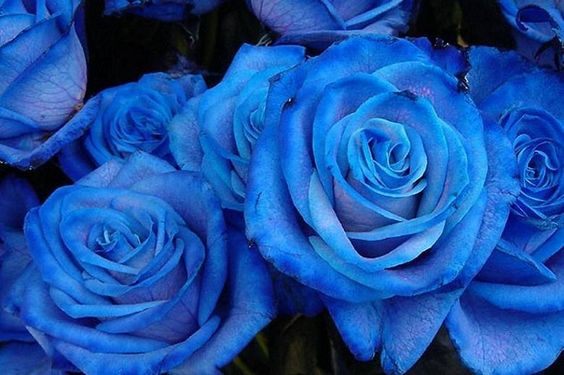 Blue roses: