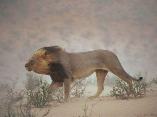 Lion in desert wind