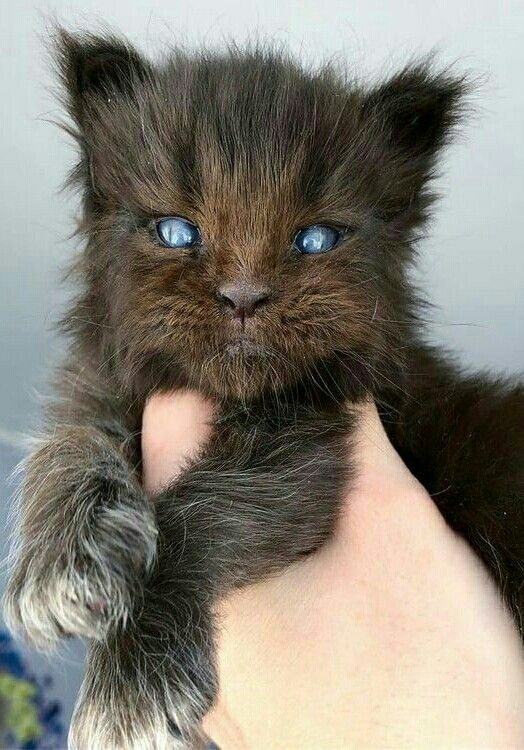 I Dont Know What This Is But I Want It Beautiful Cats Kittens Werewolf Cat