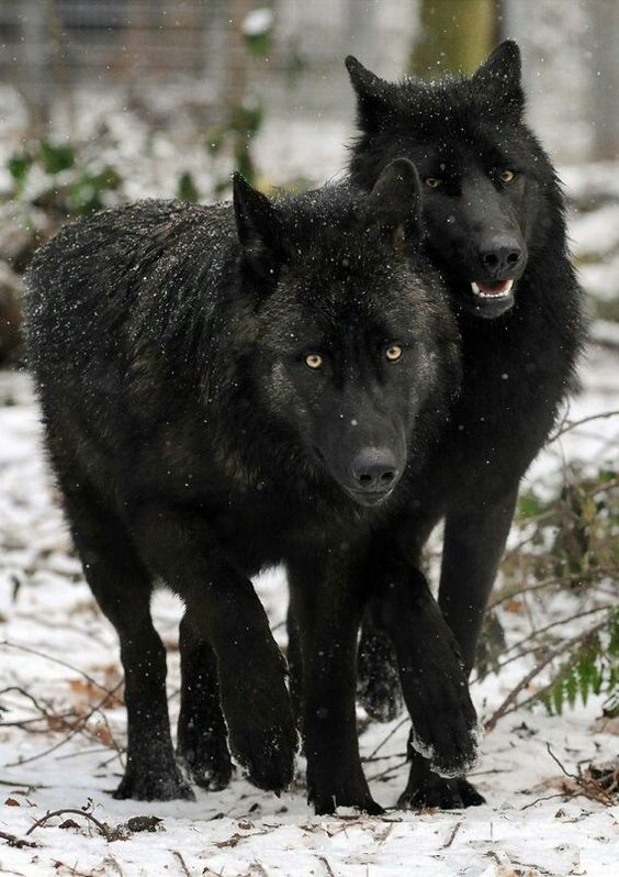 Wolves are such beautiful creatures. We need to help save them!---make space…