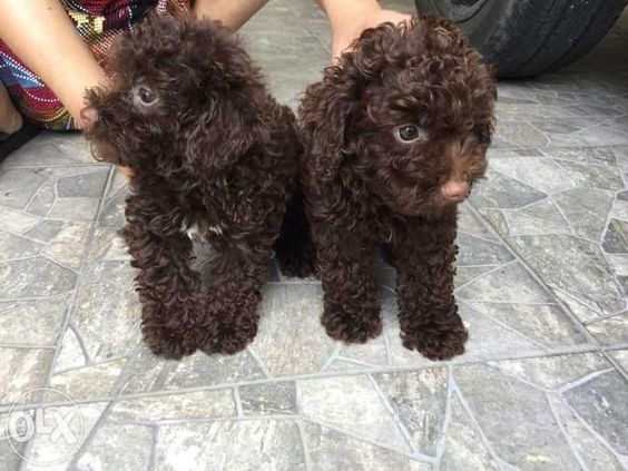 chocolate female poodle puppy for sale for sale