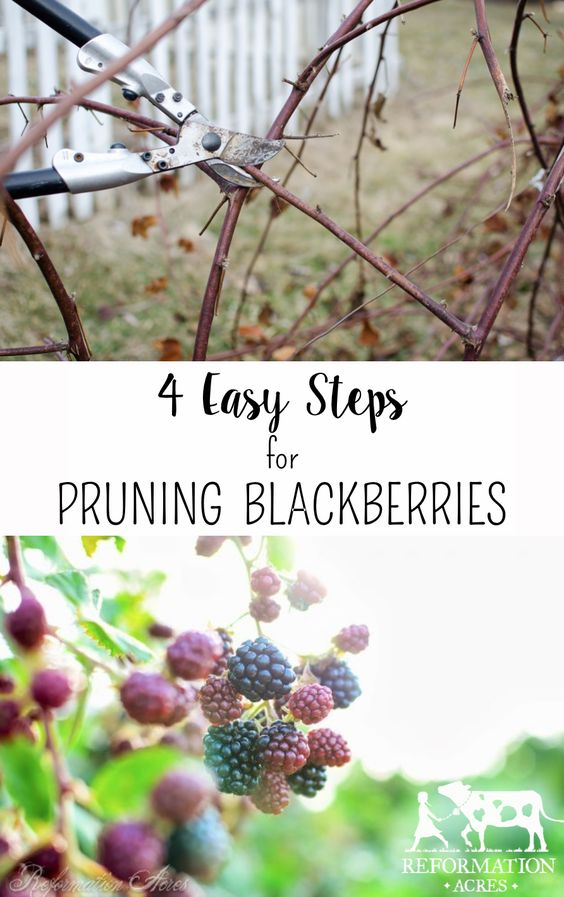 How to Prune Blackberries in 4 Easy Steps! with video on Reformation Acres at http://www.reformationacres.com/2015/04/4-easy-steps-to-prune-blackberries-video.html