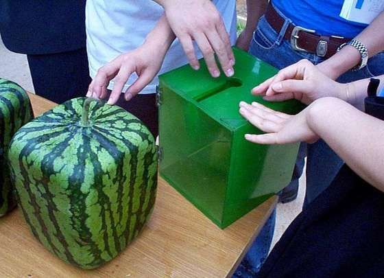 Grow a square watermelon - I can't decide if this is cool or just strange.: