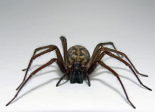 spiders  http://cornerstonepestmanagement.com/residential