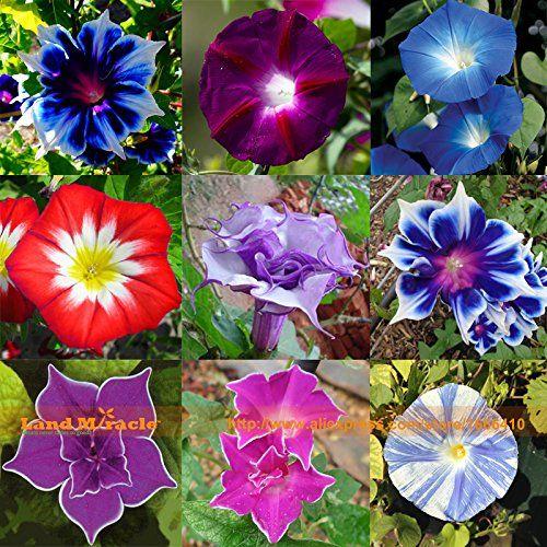 Rare Flower Morning Glory Mix Seeds 50 Seeds Heirloom Bonsai Big Petunia Beautiful Garden Flowers In 2020 Rare Flowers Beautiful Flowers Garden Morning Glory Flowers
