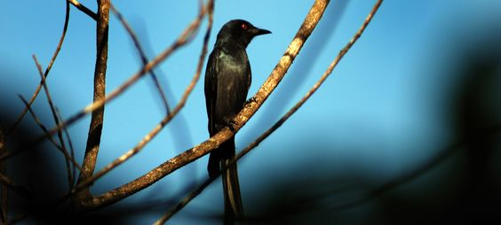 This is black Drongo bird found near wild woods spa resort.  For information log on to:http://www.wildwoodsspa.com