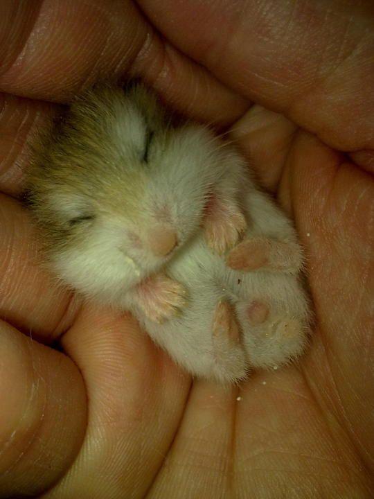 robo dwarf hamster sleeping   Baby Roborovski Hamster Roborovsky 39 s Hamster Baby