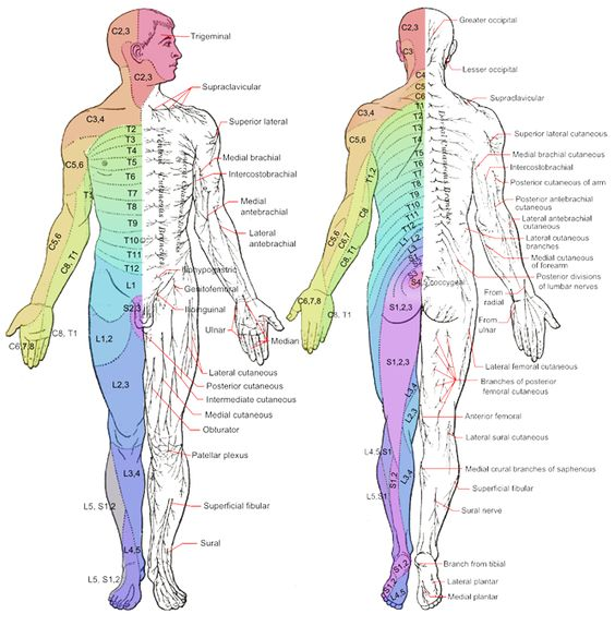 Dermatomes - Development - Maps - TeachMeAnatomy