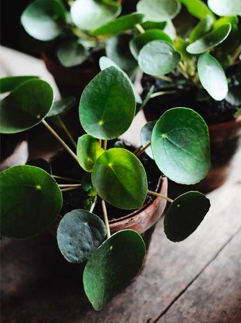 Pilea peperomioides conocida tambi n como planta china - Planta china del dinero ...