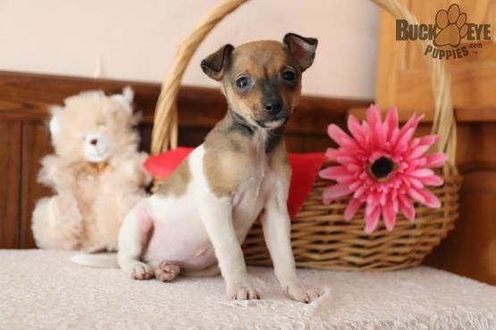 Buster Boston Terrier Mix Puppy For Sale In Fresno Oh Information About The Chihuahua Toy Fox Terrier Mix Taco Jack In 2020 Fox Terrier Toy Fox Terriers Terrier Mix