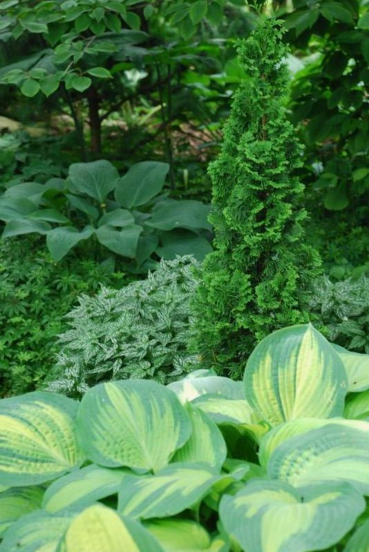 Hostas & Conifers: I like the tall, slender conifer amongst the wide leafy hostas. The plant behind it adds a silvery lacy quality. Anyone know what it is?